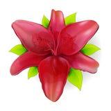 Röd lilja Arkivbild