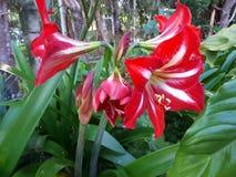 Röd lilja Arkivfoto