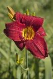 Röd lilja under den milda morgonsolen Royaltyfria Foton