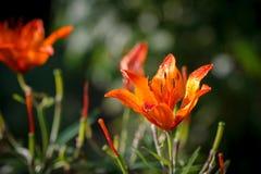Röd liljabakgrund Royaltyfri Fotografi