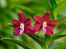 Röd-lilor orkidéblomma - Vanda Royaltyfria Bilder
