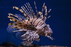 Röd lionfish Fotografering för Bildbyråer