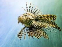 Röd Lionfish arkivbild