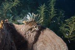 Röd Lionfish Arkivfoton