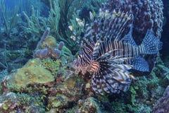Röd Lionfish Royaltyfri Foto