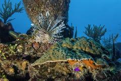 Röd Lionfish Royaltyfri Bild