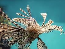 Röd lionfish för giftig fisk för korallrev (Pteroisvolitans) Royaltyfri Fotografi