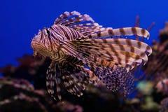 Röd lionfish i havet Arkivbild