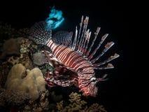 Röd lionfish och haj Royaltyfria Foton