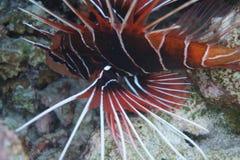Röd lionfish - rojo för Pez leó n arkivbilder