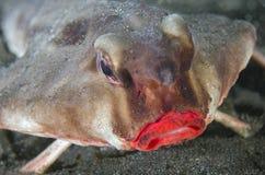 Röd lipped Batfish, Galapagos Royaltyfri Foto
