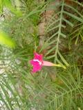 Röd liten blomma Fotografering för Bildbyråer