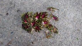 Röd liten coleus Arkivfoton