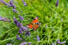 Röd liten sköldpadds- fjäril som festar på violett lavendel Royaltyfri Bild
