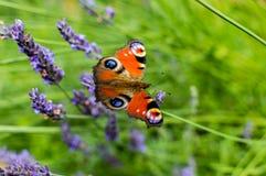 Röd liten sköldpadds- fjäril som festar på violett lavendel Arkivbild