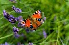 Röd liten sköldpadds- fjäril som festar på violett lavendel Arkivfoton