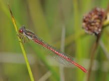 röd liten tenellum för ceriagriondamselfly Royaltyfri Foto
