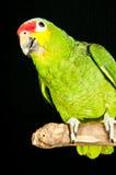 Röd lored amazon räddad papegoja Fotografering för Bildbyråer