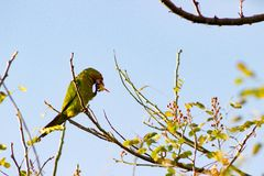Röd Lored papegoja arkivfoto