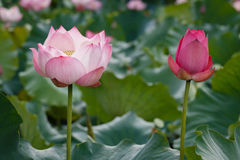 Röd Lotus Flower stående sida för två - förbi - sida Arkivbild