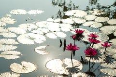Röd lotusblomma är blommande i träsk Fotografering för Bildbyråer