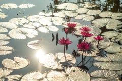 Röd lotusblomma är blommande i träsk Arkivbilder