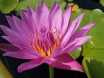 Röd lotusblomma Arkivbilder