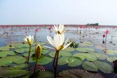 Röd lotusblomma Royaltyfria Foton