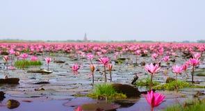 Röd lotusblomma Royaltyfria Bilder