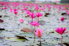 Röd lotusblomma Royaltyfri Foto