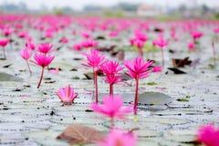 Röd lotusblomma Arkivfoto