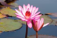 Röd lotusblomma i Udon Thani, Thailand Royaltyfria Bilder