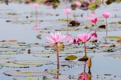 Röd lotusblomma i Udon Thani, Thailand Arkivbild