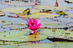 Röd lotusblomma i Udon Thani, Thailand Arkivbilder