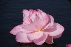 Röd lotusblomma (Nelumbonuciferaen) Fotografering för Bildbyråer