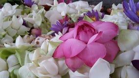 Röd lotusblomma som omges av vita lotusblommor Arkivfoton