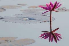 Röd lotusblommablomma Fotografering för Bildbyråer