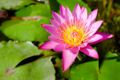 Röd lotusblommablomma royaltyfri fotografi