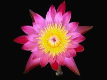 Röd lotusblommablomma som isoleras i svart bakgrund Royaltyfri Foto