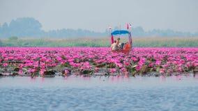 Röd lotusblommalakeat på Udon Thani, Thailand Fotografering för Bildbyråer