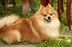 Röd lurvig hund som ligger på stiliga fullblods- spitzs för grönt gräs fa Arkivfoto