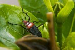 Röd lygaeidae på ett blad arkivbild