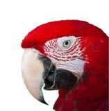 Röd macaw på vit med banan royaltyfri fotografi
