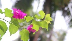 Röd Maldivien blomma med gröna sidor lager videofilmer