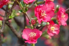 Röd MalusSpectabilis blomma Fotografering för Bildbyråer
