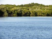 Röd mangel för mangroveträdrhizophora Arkivbild