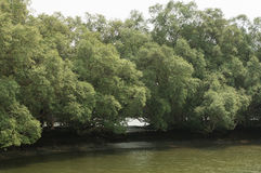 Röd mangrove Arkivfoton