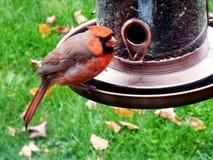 Röd manlig huvudsaklig fågel på en fågelförlagematare arkivfoton