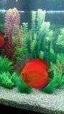 Röd marlborodiskusfisk Arkivfoto