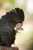 Röd matning för svanssvartkakadua Royaltyfri Foto